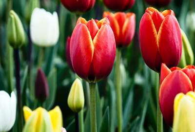 Tulips in Bloom wallpaper