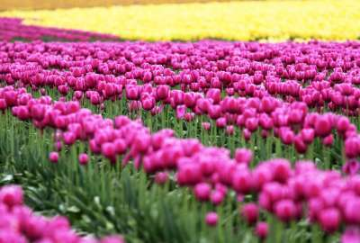 Tulips Landscape wallpaper
