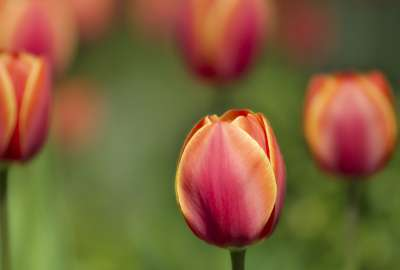 Tulips Macro Shot wallpaper