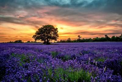 Violet Flower Field wallpaper