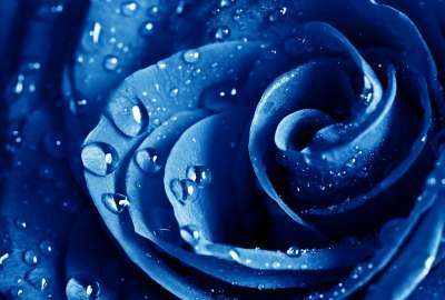 Wet Drops Blue Rose wallpaper