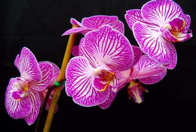 White and Purple Orchids wallpaper