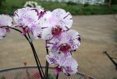 White and Violet Orchids wallpaper
