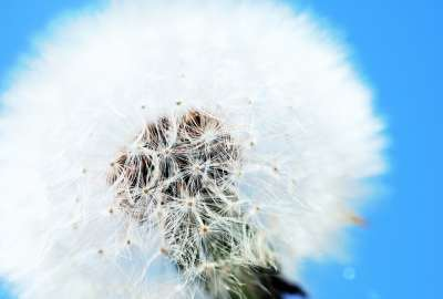 White Dandelion wallpaper