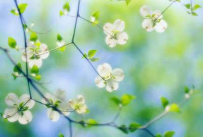 White Dogwood Blossoms wallpaper