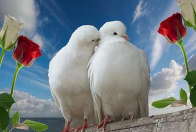 White Doves Love wallpaper