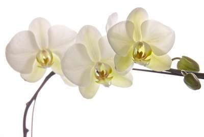 White Florida Orchids wallpaper