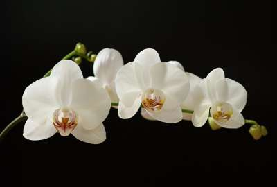 White Orchids S wallpaper