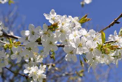 White Tree Flowers Spring wallpaper
