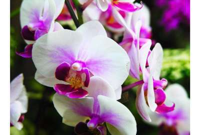 White Wedding Orchids wallpaper