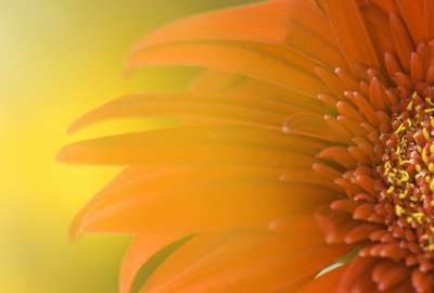 Widescreen Sunflower wallpaper