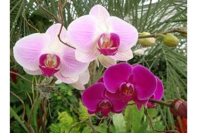 Wild Orchids wallpaper