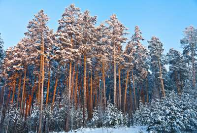 Winter Forest Trees wallpaper