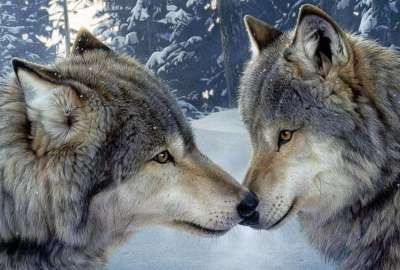 Wolf Encounter Romance wallpaper