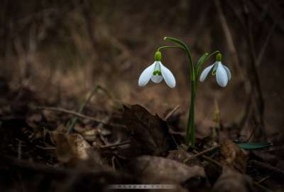 Wonderful Snowdrop wallpaper