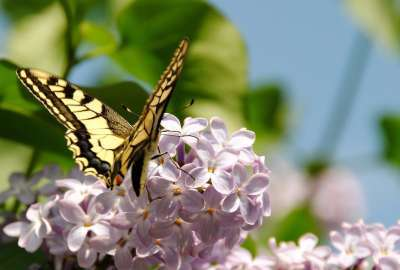 Yellow Butterfly Spring wallpaper