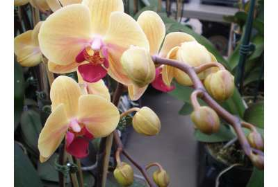 Yellow Inspired Orchids S wallpaper