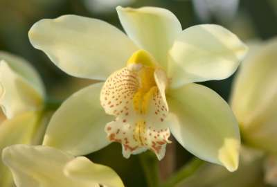 Yellow Orchids wallpaper