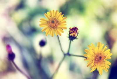 Yellow Spring Daisy wallpaper