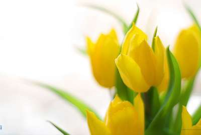 Yellow Tulips Spring Ss wallpaper