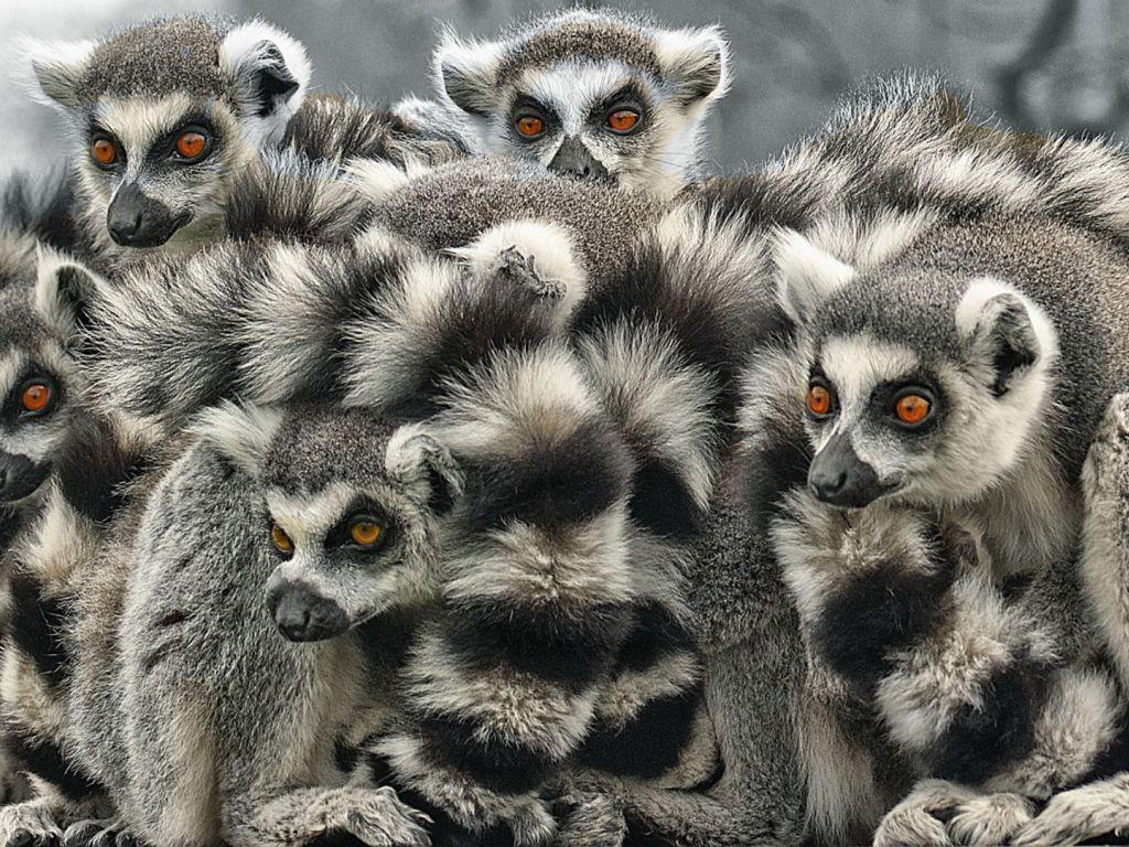Lemur 4K wallpapers for your desktop or mobile screen free ...