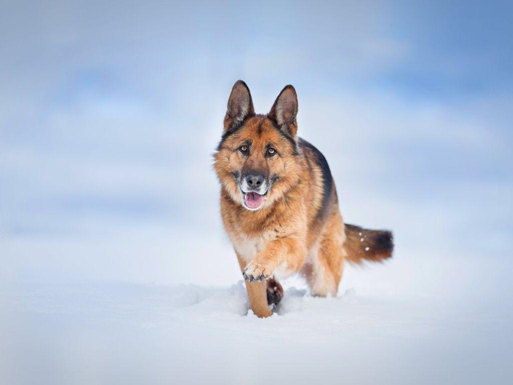 German Shepherd Dog wallpaper in 1024x768 resolution