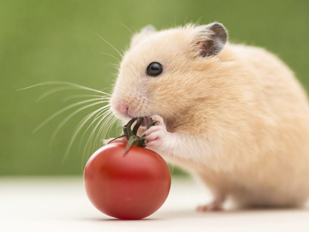 Free hamster mobile