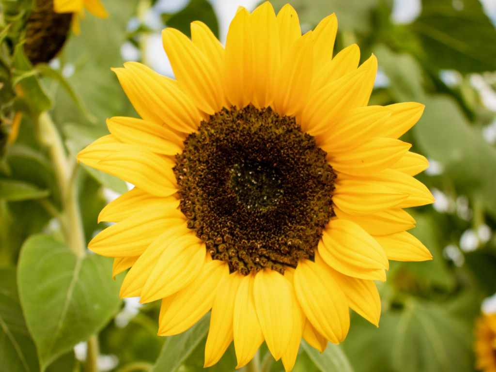 Sunflower 4K wallpapers for your desktop or mobile screen ...